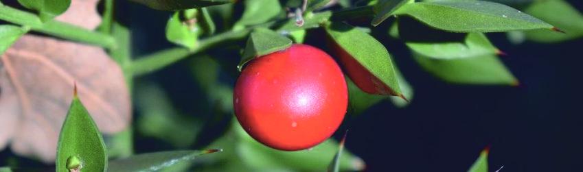 иглица растение